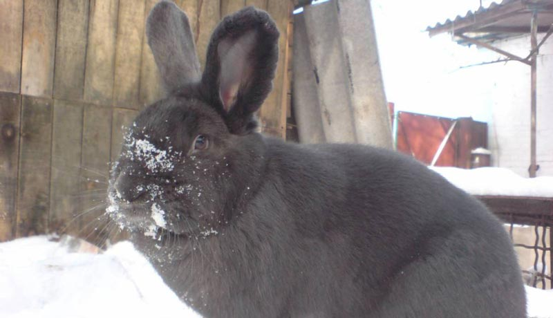 У кроля нос в снегу
