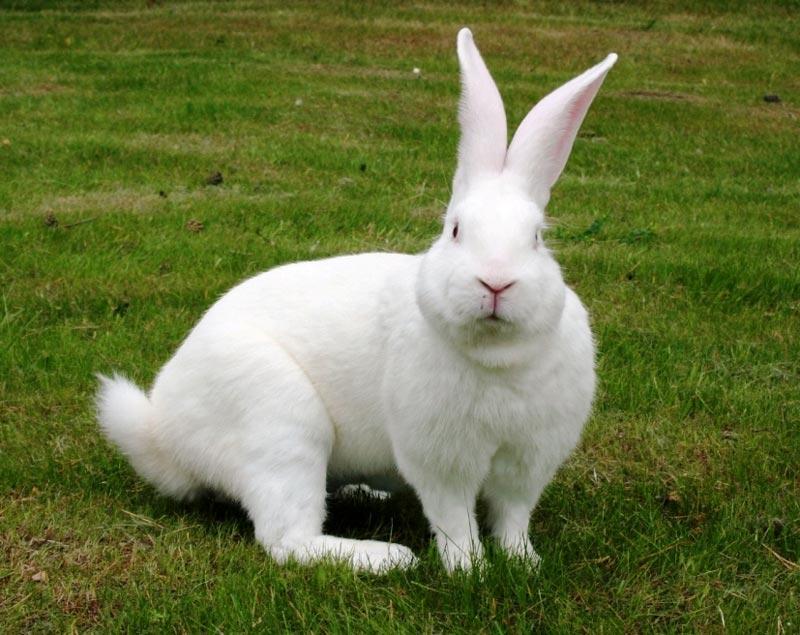 Большой белый кроль-великан