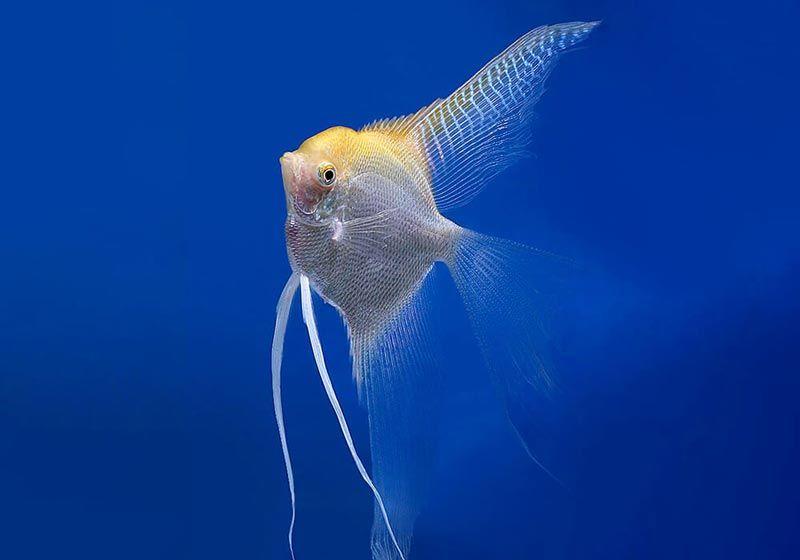 Жемчужная рыбка