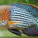 Оранжево-голубая рыбка