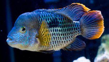 Акара бирюзовая: фото, описание, содержание в аквариуме
