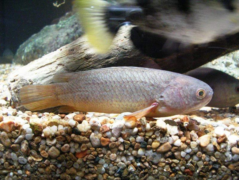 Рыба-Ползун на дне