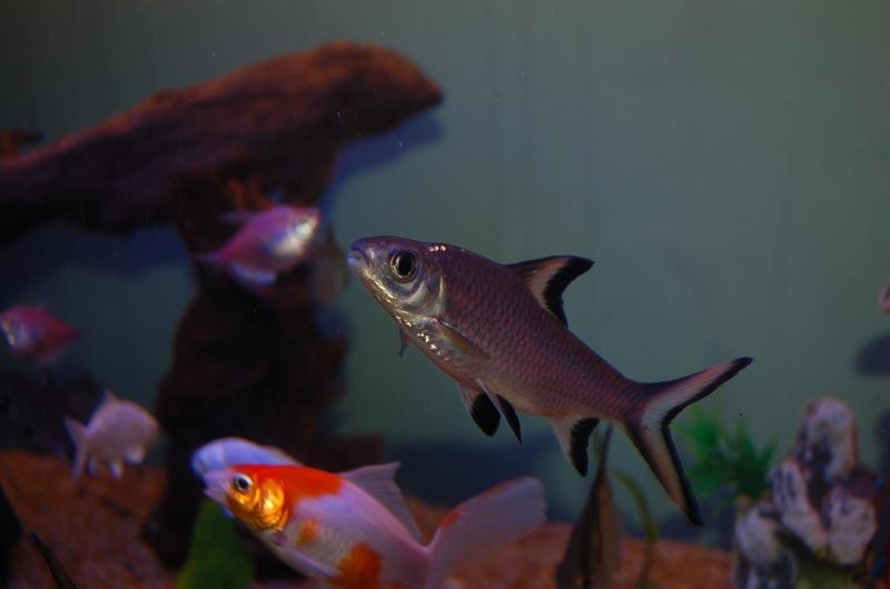 Балу с другими рыбками