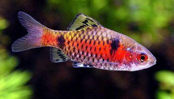 Барбус Алый: фото, описание, содержание в аквариуме
