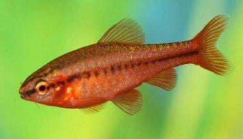 Барбус вишневый: всё об уходе и содержании в аквариуме