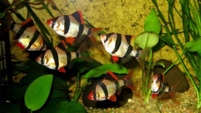 Барбусы с полосками черного цвета