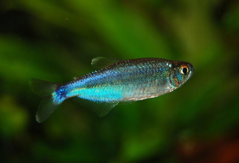 Голубая