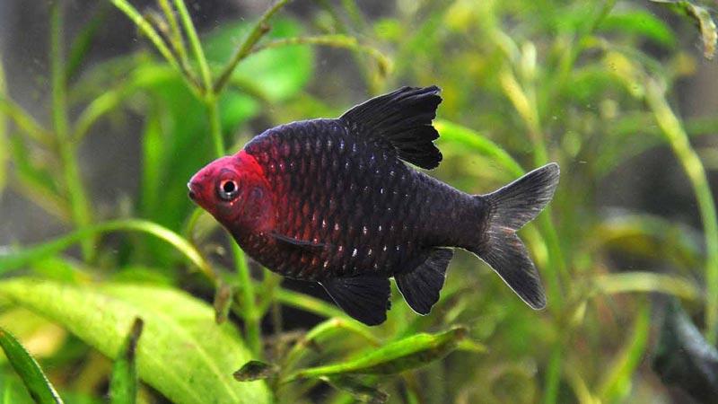 Черный Барбус в аквариуме