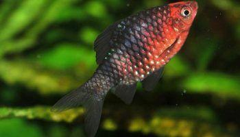 Черный Барбус: фото, описание, содержание в аквариуме