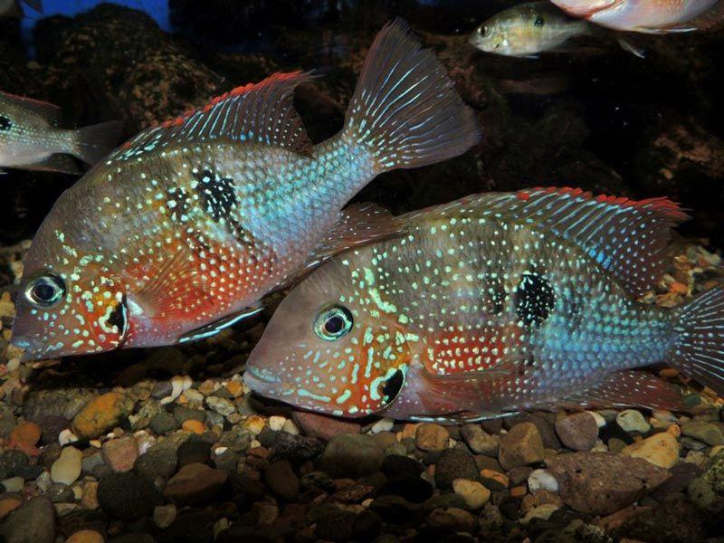 Две рыбки Элиота