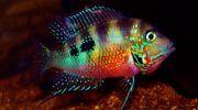 Цихлазома Элиота: фото, описание, содержание в аквариуме