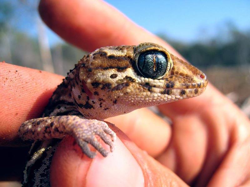 Маленький геккон в руках