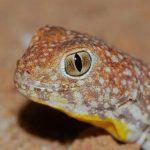 Любопытный геккон