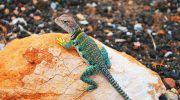 Геккон: как содержать ящерицу дома