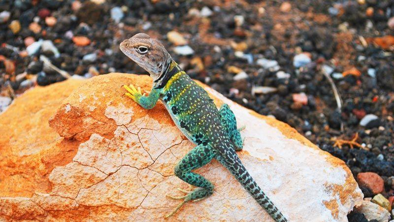 Голубой геккон