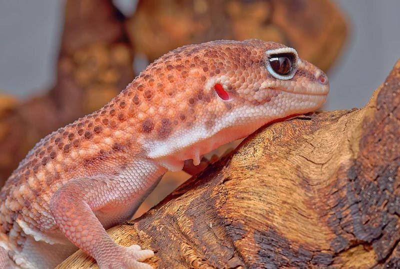 Красно-оранжевый Геккон