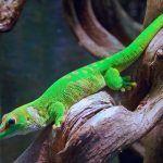 Зеленый новозеландский геккон