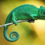 Зеленый хамелеон на веточке