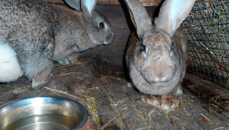 Кролики после комбикорма