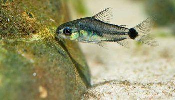 Коридорас Пигмей: фото, описание, содержание в аквариуме