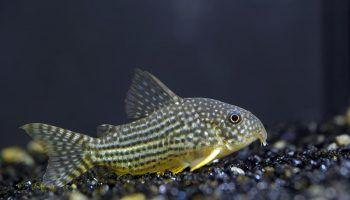 Коридорас Штерба: фото сомика, описание, содержание в аквариуме