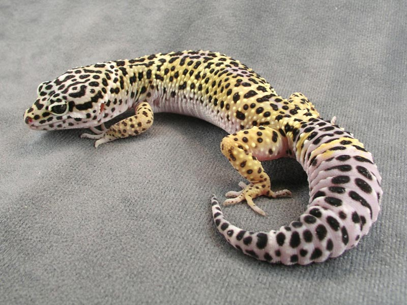 Пятнистые леопардовые