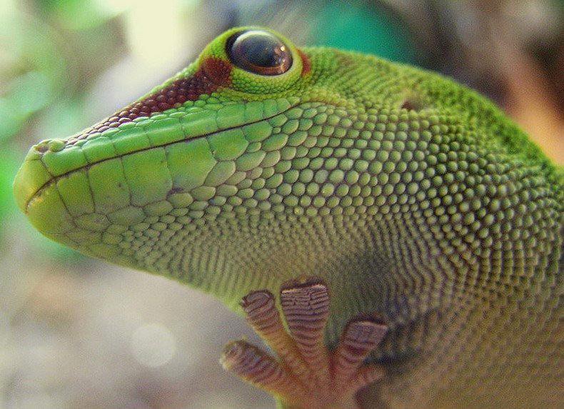 Мадагаскарский