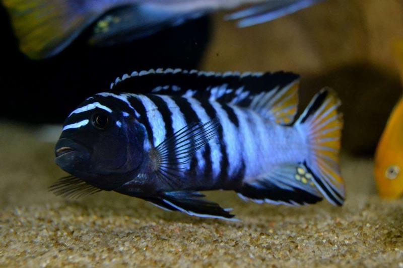 Темно-синий псевдотрофеус