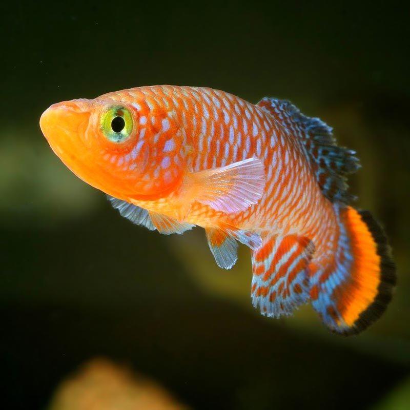 Оранжевый Нотобранхиус