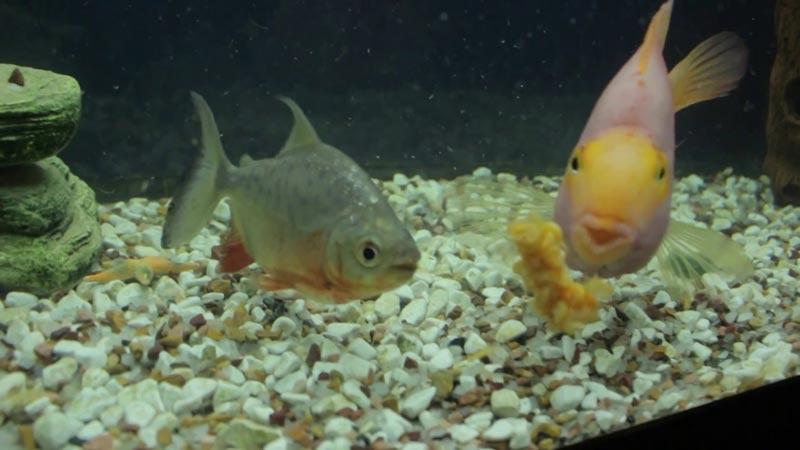 Паку и рыбка Золотой попугай
