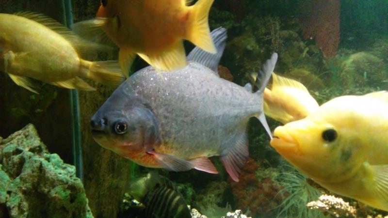 Паку и другие рыбки