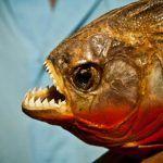 Хищная рыба Пиранья