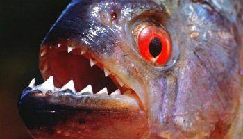 Рыба пиранья: фото, описание, содержание в аквариуме