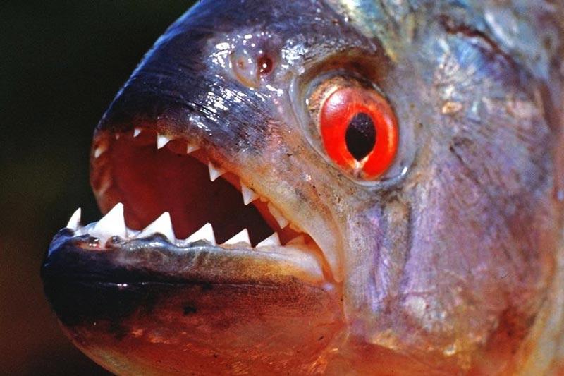 Рыба Пиранья