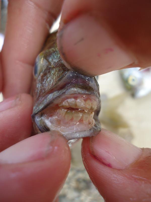 Человеческие зубы у Пиарньи