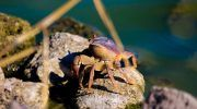 Пресноводный краб в аквариуме
