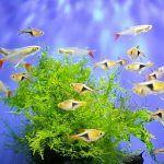 Рыбки-расборы в аквариуме