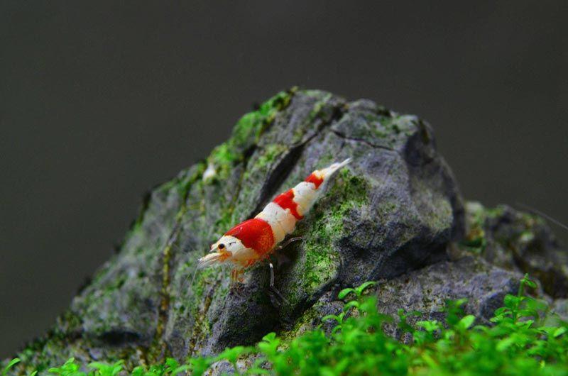 Креветка на камне