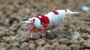 Креветка Красный Кристалл: фото, описание, уход и содержание в аквариуме