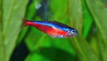 Красный неон: фото, описание, содержание в аквариуме