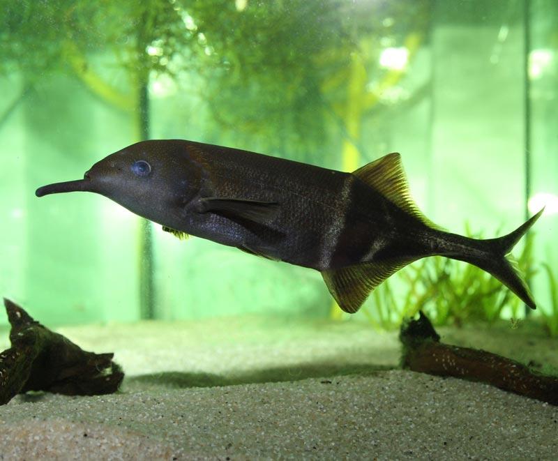 Плавает в аквариуме