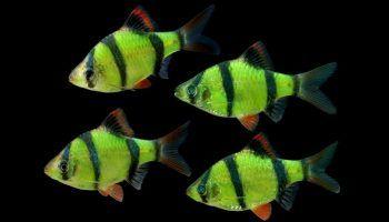 Барбус Суматранский: фото, описание, содержание в аквариуме