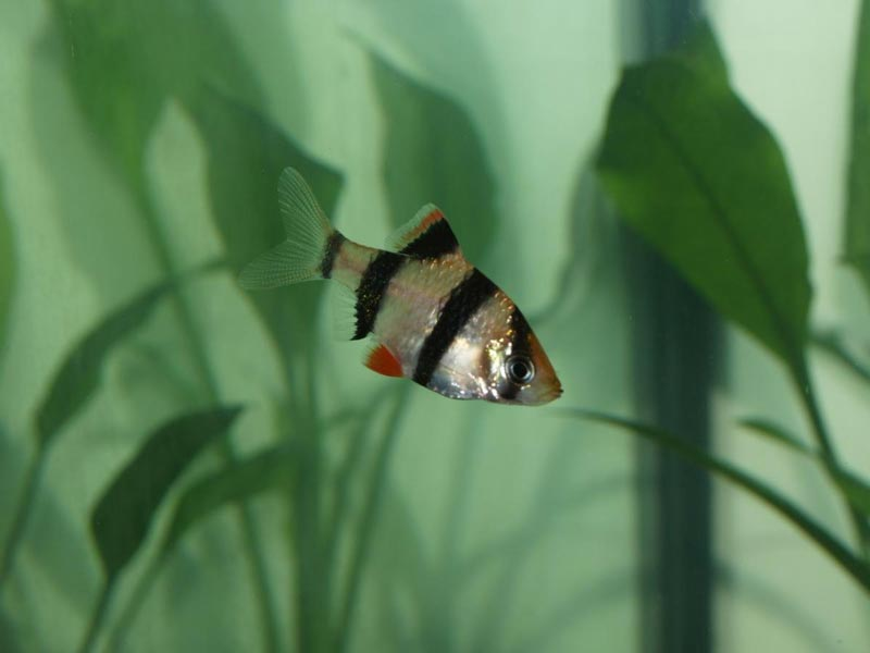 Суматранский барбус в воде