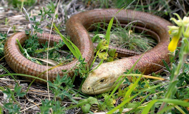 Сцинк-змейка