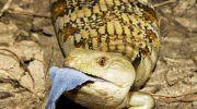 Ящерица Сцинк: фото, описание, содержание в террариуме
