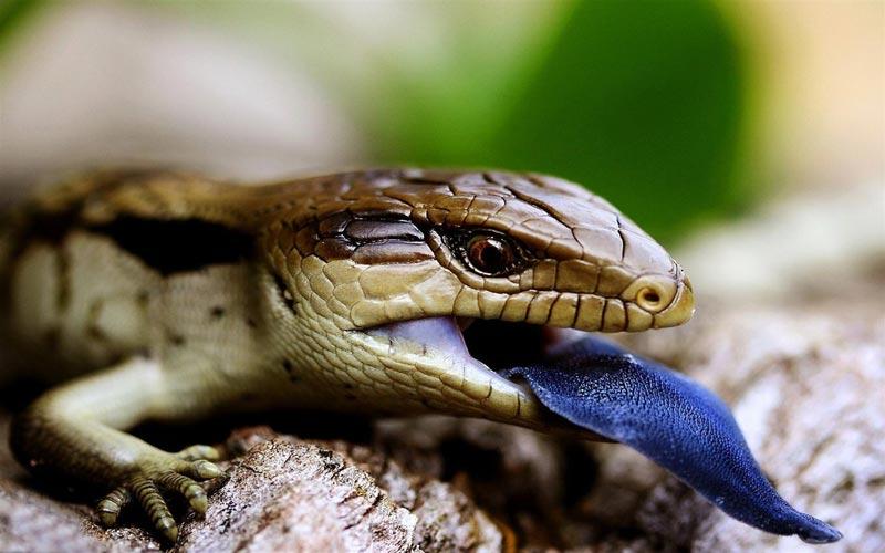 Синеязыкий сцинк