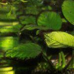 Листья с вьетнамкой