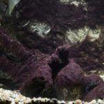 Вьетнамка на камнях в аквариуме