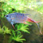 Голубовато-серебристый с красным хвостом