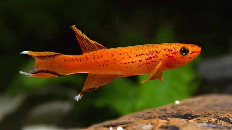 Длинное тело у рыбки